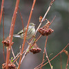 Blackpoll Warbler, Setophaga striata