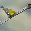 Black-throated Green Warbler, Setophaga virens