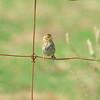 Savannah Sparrow, Passerculus sandwichensis
