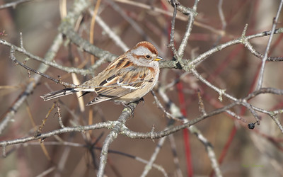New World Sparrows (Family Passerellidae), Spindalis