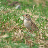 Clay-colored Sparrow, Spizella pallida