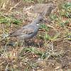 Common Diuca Finch, Diuca diuca