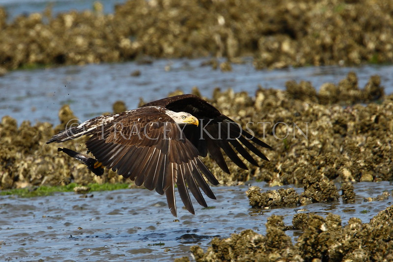 Bald Eagle<br /> (Haliaeetus leucocephalus)<br /> <br /> You may purchase a print or a digital download. If purchasing a digital download please look at the licensing agreement terms for personal or commercial use.
