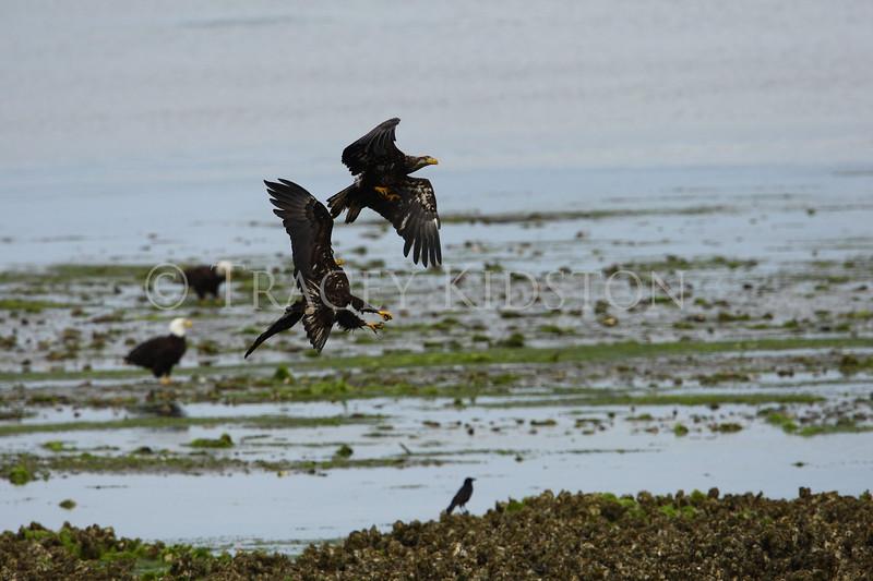 Bald Eagle<br /> (Haliaeetus leucocephalus)