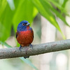 Painted Bunting January 2018-0254