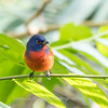 Painted Bunting January 2018-0318