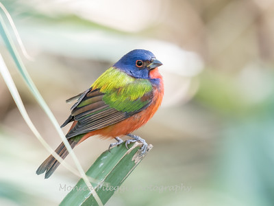 Painted Bunting January 2018-0279