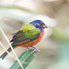 Painted Bunting January 2018-0274