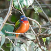Painted Bunting January 2018-0222