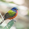 Painted Bunting January 2018-0268