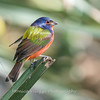 Painted Bunting January 2018-0306