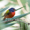 Painted Bunting January 2018-0296
