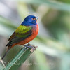 Painted Bunting January 2018-0327