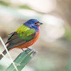 Painted Bunting January 2018-0270