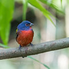 Painted Bunting January 2018-0250