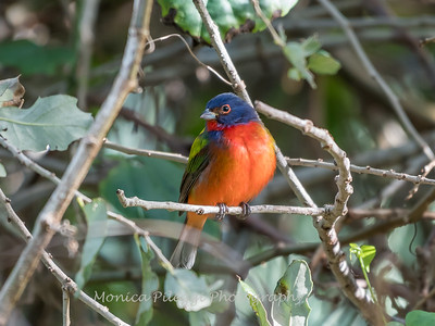Painted Bunting January 2018-0231