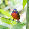 Painted Bunting January 2018-0280