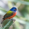 Painted Bunting January 2018-0326