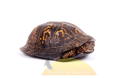 A box turtle hides in its shell on a white background