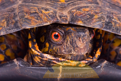 The face of a painted box turtle on white background