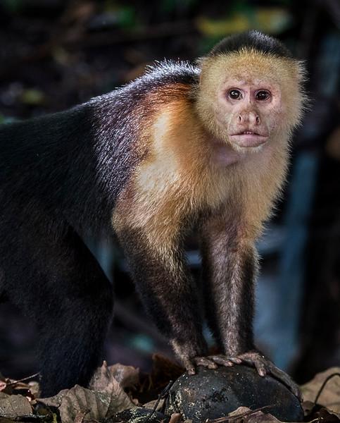 Coiba Ranger Station - Capuchin Monkey