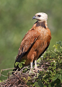 black collared hawk, pantanal, brazil