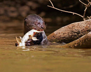 giant river otter eating a fish, pantanal, brazil