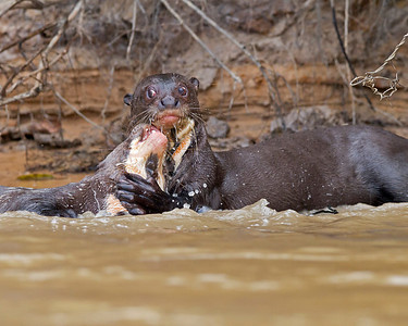 giant river otters at play, pantanal, brazil