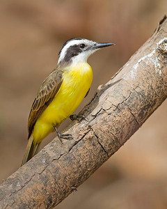 great kiskadee, pantanal, brazil