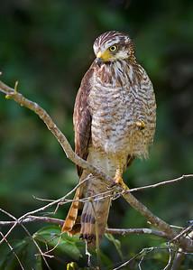 roadside hawk, pantanal, brazil