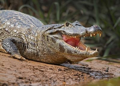 caiman, pantanal, brazil