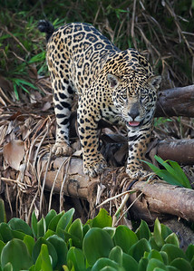 jaguar hunting, pantanal, brazil
