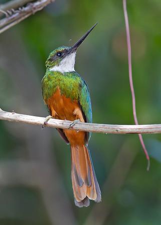 jacamar, pantanal, brazil