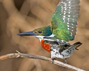 green kingfisher, male, pantanal, brazil