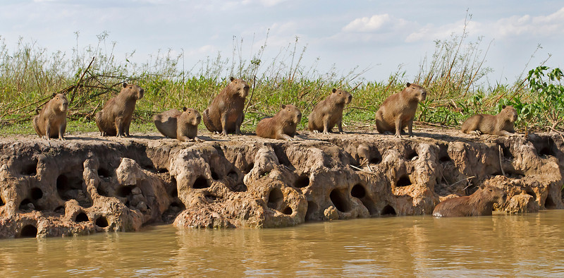 capybara welcoming committee, pantanal, brazil