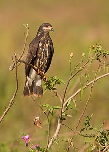 snail kite, pantanal, brazil