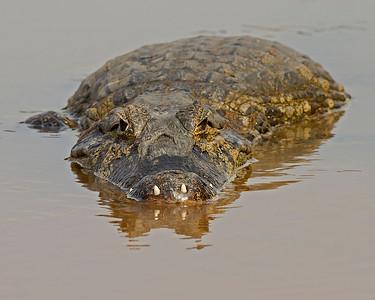 caiman waiting, pantanal, brazil