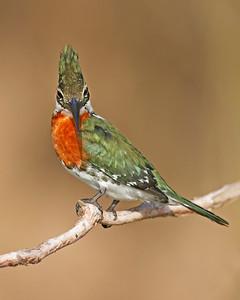 green kingfisher, pantanal, brazil