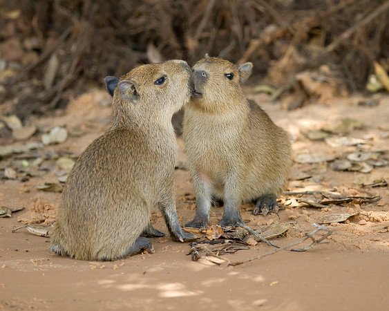 capybara siblings, pantanal, brazil