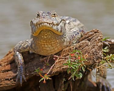 caiman sunning, pantanal, brazil