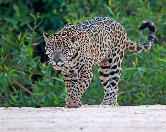 jaguar on river beach, pantanal, brazil