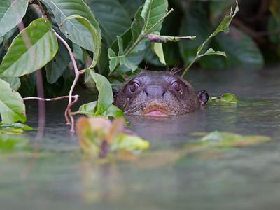 giant river otter under cover, pantanal, brazil
