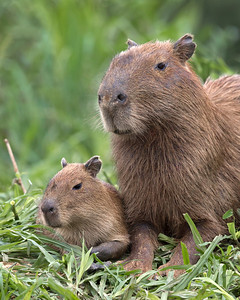 capybara mother and pup on the riverbank, pantanal