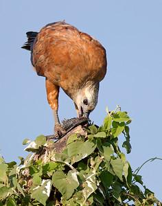 black-collared hawk with fish, pantanal
