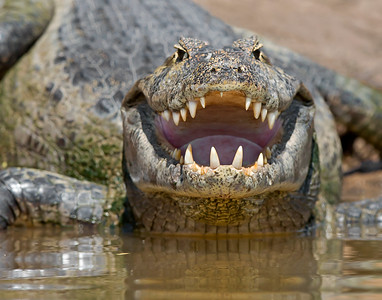 cayman in pantanal, brazil