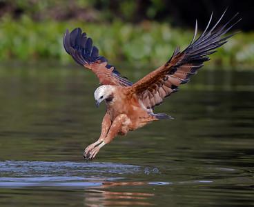 black-collared hawk, pantanal