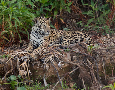 jaguar in the pantanal, brazil in august