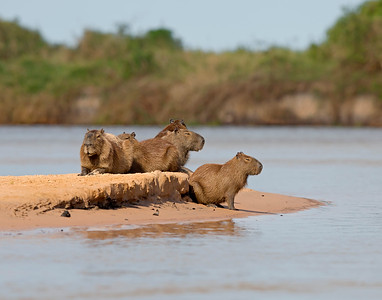 capybaras on watch on a river island, pantanal