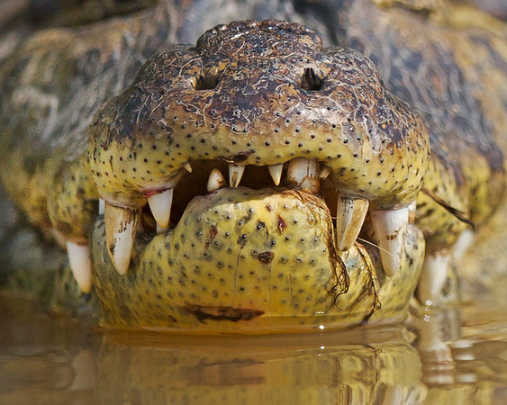 cayman needing a dental check-up, pantanal, brazil