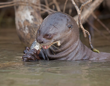 giant river otter eating fish, pantanal, brazil